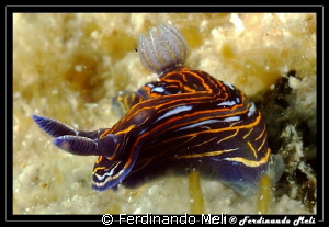Dark nudibranch by Ferdinando Meli 